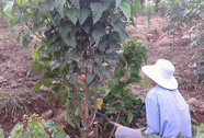 Hạt ca-ri rớt giá 10 lần, nông dân chặt bỏ cây