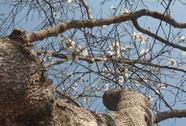 Đà Lạt: Vào mùa hoa ban trắng