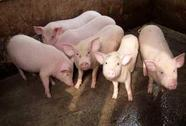 Đồng Nai: phát hiện nhiều hộ nuôi heo bằng chất cấm