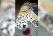 Trung Quốc: Mất chức vì nuôi hổ làm thú cưng
