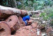 Lâm tặc chặt 3 cây sa mu trăm tuổi trong vùng lõi khu bảo tồn