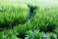 Tối giăng điện bẫy chuột ở ruộng lúa, sáng ra thấy người chết