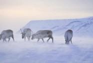 Tuần lộc Bắc Cực ngày càng còi cọc