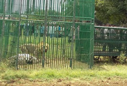Ấn Độ: Bắt 18 con sư tử để điều tra vụ giết chết 3 người