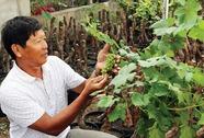 Ninh Thuận cung cấp hàng ngàn cây nho cảnh dịp Tết