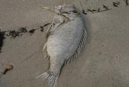 Chỉ có 17 con cá chết trôi dạt vào bờ biển Đà Nẵng(!?)