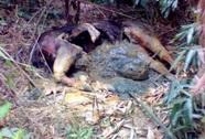 Phát hiện xác nghi là bò tót nặng gần 1 tấn