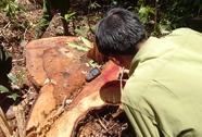 Khởi tố, bắt tạm giam thêm 11 đối tượng vụ phá rừng Lâm Đồng