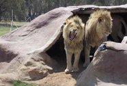 Bị dẫn nhầm vào chuồng sư tử, bé trai chết thảm