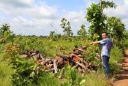 Bắt giám đốc phá trắng 49 ha rừng