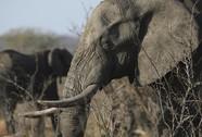 Túng tiền, Zimbabwe bán 35 con voi cho Trung Quốc