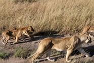 Kinh hoàng sư tử ăn thịt người trong công viên