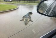Mỹ: Cá sấu đi tránh bão Harvey