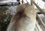 Đàn trâu bị chém chết la liệt giữa rừng