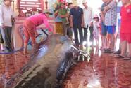 Cá voi mang thai, nặng 1 tấn lụy bờ