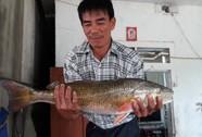 Câu được cá lạ lấp lánh ánh vàng, nghi cá sủ vàng quý hiếm