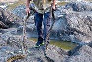 Sau bão lũ, dân Úc tá hỏa... trục xuất rắn