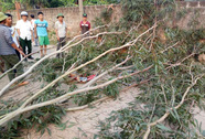 Người lớn chặt cây, 3 học sinh cấp I bị đè nhập viện