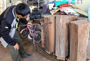Điều tra vụ nghi gỗ thông đỏ quý hiếm ở nhà trưởng BQL rừng
