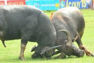 Ngày 28-9, tiếp tục tổ chức hội chọi trâu Đồ Sơn