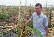 """Giám đốc thuê """"dọn dẹp"""", 2.000 cây chuối bị côn đồ triệt hạ"""