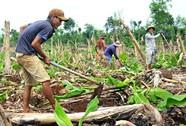 Dân Đồng Nai lại ồ ạt trồng chuối chờ Trung Quốc thu mua