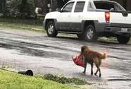 """Chú chó """"biểu tượng cho sức mạnh Texas"""" trong bão Harvey"""