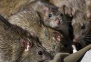 Pháp: Kinh hãi nữ sinh tàn tật bị đàn chuột tấn công