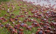 Cuộc di cư 'rầm rộ' của hàng triệu con cua đỏ