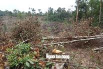 Lâm Đồng: Rừng bị triệt hạ không thương tiếc