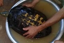 """Đổ xô tới xem rùa """"lạ"""" nặng 16 kg có vân vàng hình giống chữ nho"""