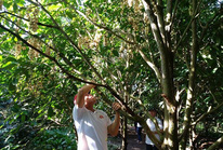 """Hết mùa trái cây, nhà vườn vẫn """"chém ngọt"""" du khách"""