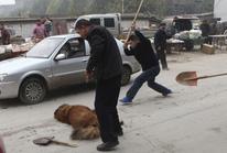 Thảm cảnh của chó ngao Tây Tạng