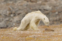 Gấu Bắc Cực đói trơ xương
