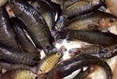 Nôn nao với mùa cá lên đồng