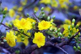 Tháng Giêng ngập ánh vàng mai