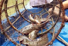Săn cá ngát trên sông ở Cà Mau