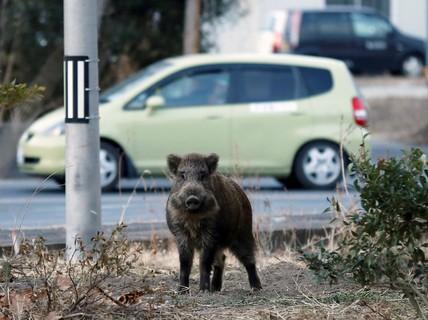 Lợn phóng xạ đe dọa đường về nhà của người dân Fukushima