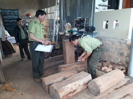 Gỗ thông đỏ quý hiếm trong nhà trưởng ban quản lý rừng