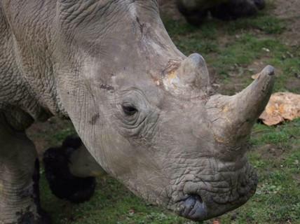 Vào tận sở thú cắt sừng tê giác trắng quý hiếm