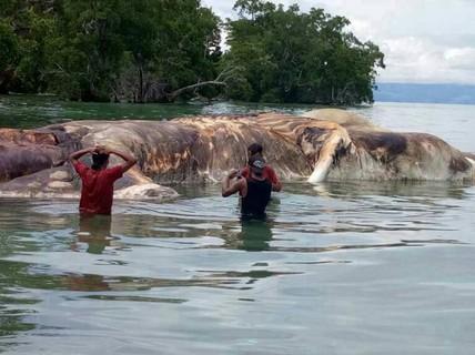 """Giải mã """"quái vật biển"""" dạt vào bãi biển Indonesia"""