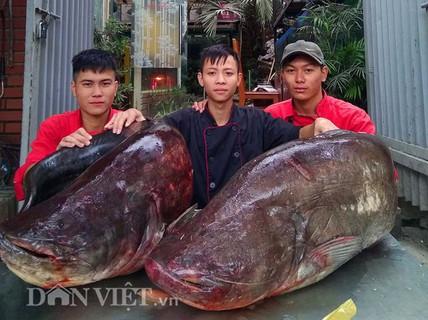 """Cận cảnh cặp cá leo """"khủng"""" nặng hơn1 tạ xuất hiện ở Thủ đô"""