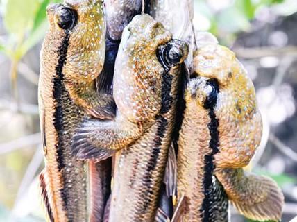 Cá thòi lòi - Dị hợm, kỳ lạ