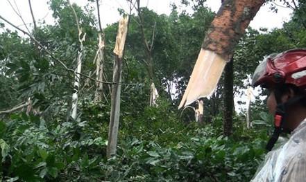 Không dễ xóa cây cao su ở vùng bão
