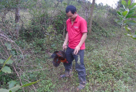 Tận mắt chứng kiến độc chiêu săn gà rừng xứ Nghệ