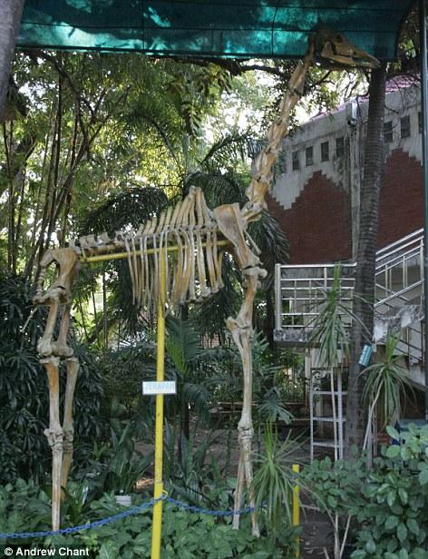 Một con hươu cao cổ chết đi, vườn thú lấy khung xương làm cảnh