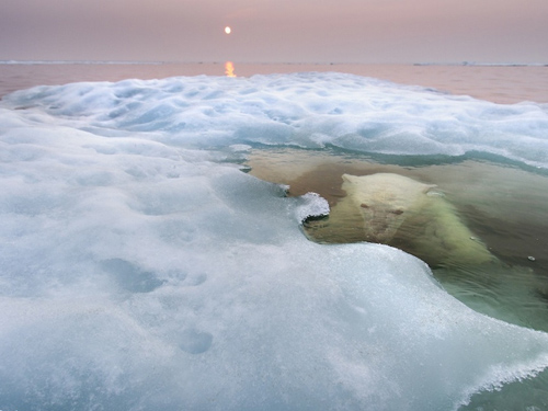 Con gấu trắng Bắc Cực tuyệt đẹp ẩn núp giữa dòng nước của sông băng