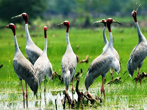 Sếu đầu đỏ về Vườn Quốc gia Tràm Chim ngày càng ít vì bị thu hẹp sinh cảnh sống Ảnh: TĂNG A PẨU