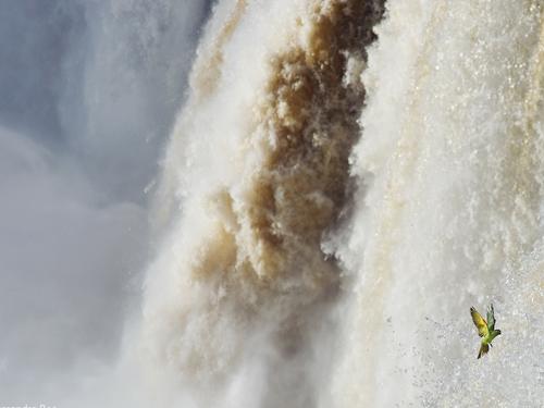 Một chú vẹt đuôi dài cố bay lên dòng thác Iguazu Falls ở Argentina