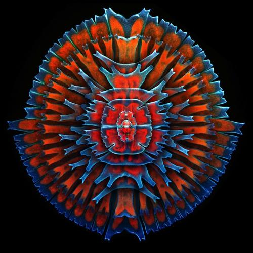 Bộ sưu tập các sinh vật đơn bào, tảo nước ngọt được gọi là desmids. Màu đỏ trong hình là do sự phát huỳnh quang bẩm sinh của chất diệp lục.